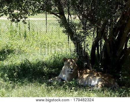 Proud lioness resting under the shadow of a tree