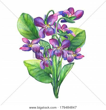 Bouquet of Fragrant violets wild flower (English Sweet Violets, Viola odorata). Hand drawn watercolor painting on white background.