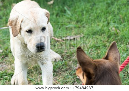 A Kelpie dog growls and bares his teeth at a Labrador Retriever puppy who looks scared.