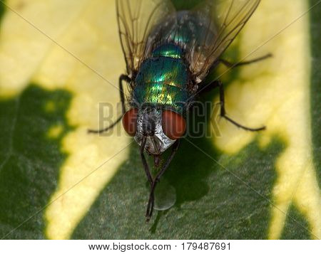 Close up of green bottle blow fly