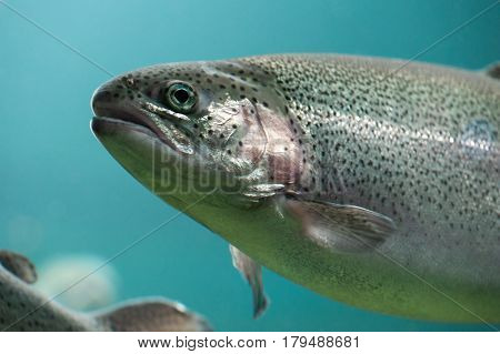 Rainbow trout  (Oncorhynchus mykiss) close-up  under water