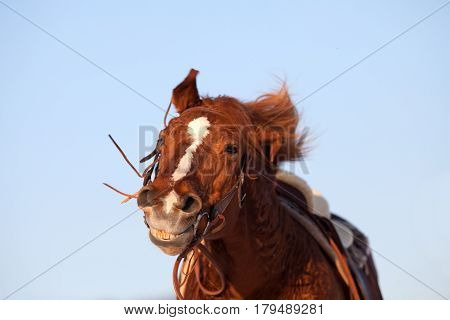 Funny happy horse smile face close up