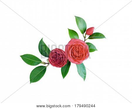 Camellia isolated on white background. Spring Japanese flower with a saturated red color. Bouquet of red camellia all elements are isolated and editable. Camellia brooch sticker patch