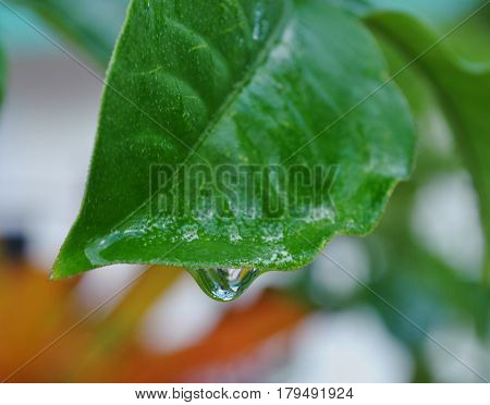 Dewdrop on leaf One drop of water about to fall off a leaf