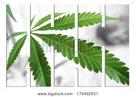 Cannabis Leaf  Art Close Up High Quality