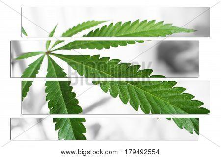 Marijuana Leaf Close Up Art High Quality
