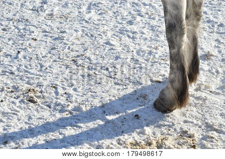 White horse hooves on a snowy background.