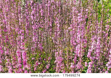 Bright Pink Redbud Flowers