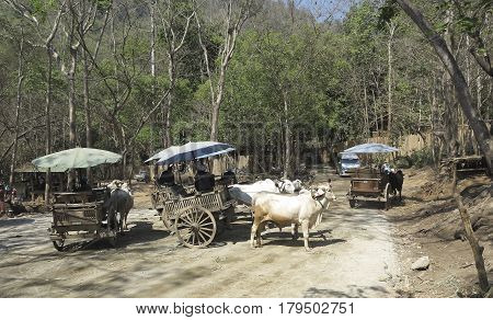 Traveling in carts of harnessed buffaloes in the jungles of Thailand