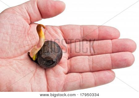Sprout Chestnut On A Palm