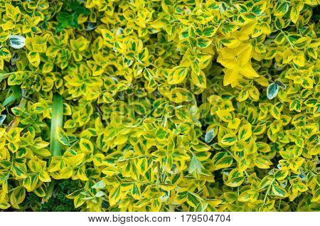 New Zealand Laurel Or Mirror Bush Shrub Leaves
