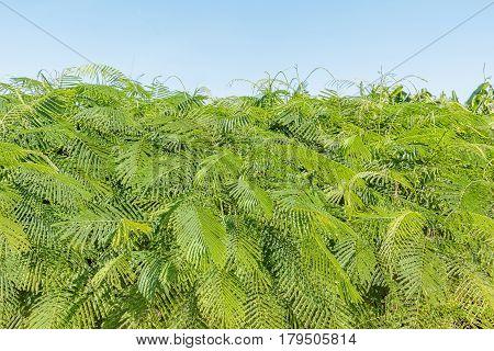 Cha (Cha-om) Acacia pennata vegetables in the garden Soft focus