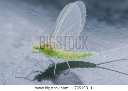 Close up tiny female Mayfly on mirror