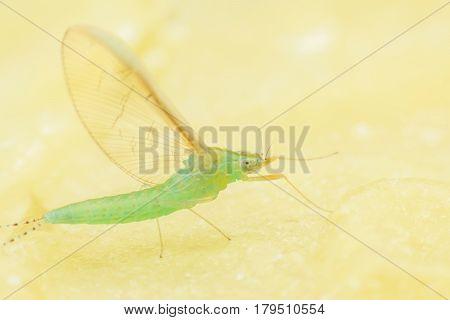 Super macro female mayfly on candle sheet