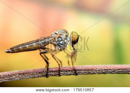 Super macro Robber fly with prey on branch