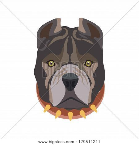 American Pit Bull breed barking domestic animal wearing ruddy dog collar with some golden sharp elements. Isolated dark haired pet head with small eyes, black nose, hanging cheeks and triangular ears