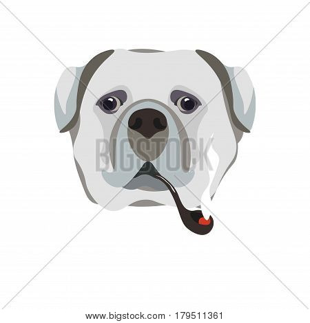 Bullmastiff breed dog holding smoking pipe in mouth close up portrait on white. Vector illustration in flat design of domestic barking animal with grey hair, black eyes, hanging medium-sized ears