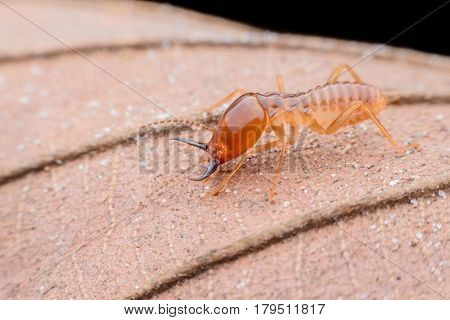 Close up Termites worker on dried leaf