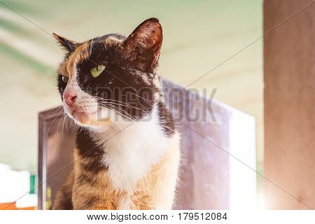 The cat is sitting. Portrait of green-eyed cat. Kitty cat under sun light. Cat white and black