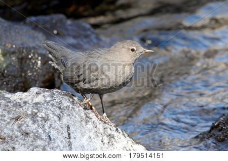 American Dipper (Cinclus mexicanus) in Yellowstone National Park