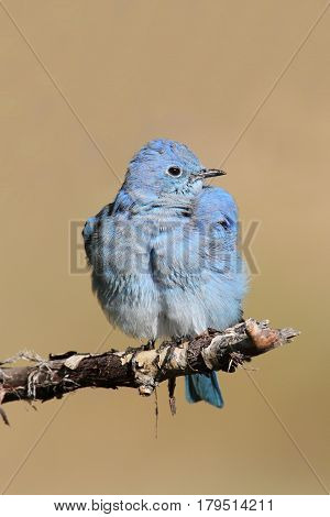 Male Mountain Bluebird (Sialia currucoides) in Grand Tetons National Park in a tree