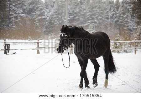 Black graceful horse walking in the paddock. Horizontal outdoors shot.