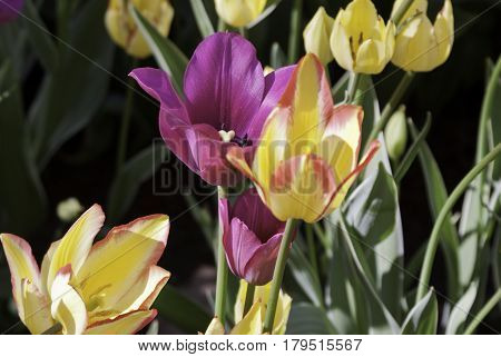 Wide close up of a purple/mauve colored open faced tulips with soft focus tulips/soil/foliage on a bright sunny day in May at the International Tulip Festival in Ottawa, Ontario.