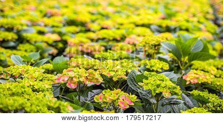 Many budding Hydrangea flowers in the glasshouse of a Hydrangea cut flower nursery in the Netherlands.