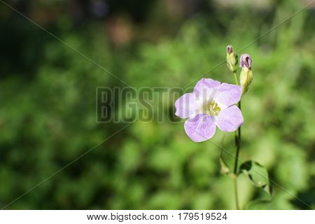 single violet flower in tropical rainforest isolated with green plant background and copy space