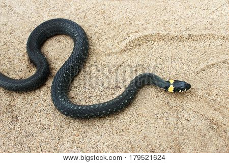 Natrix. Little Black Snake crawls through the sand.