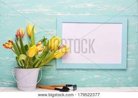 Gardening tools, fresh tulips flowers in a bucket and blank sheet in frame  on a wooden green background. Concept of spring gardening.