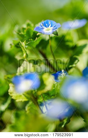 Forget me not blue flowers with selective focus