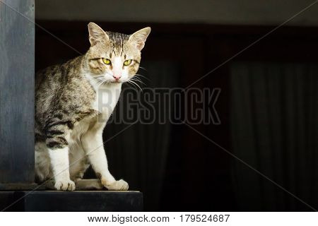 Domestic Cat Standing