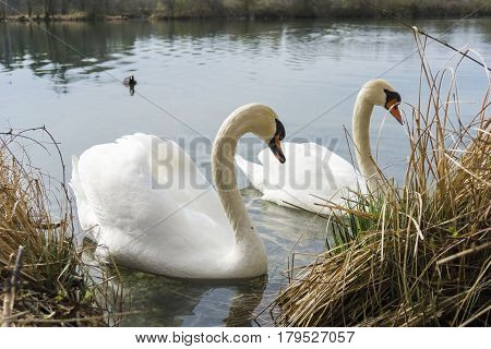 Close-up of a graceful white swan at the lakeside. Swans (Cygnus) at the lake. Animals in the Wild. View on two beautiful Swan in the Morning
