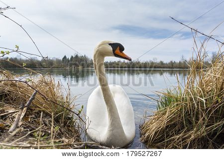 Close-up of a graceful white swan at the lakeside. Swans (Cygnus) at the lake. Portrait of a beautiful Swan in the Morning