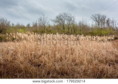 Pampas Grass Landscape In Early Spring, Nature