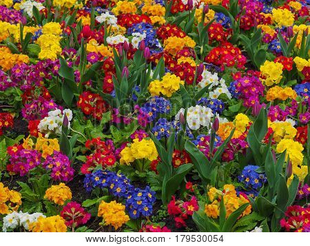Polyanthus and tulips flower bed in spring