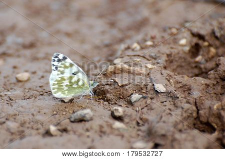 Eastern Bath White, Pontia edusa, White butterfly in natural habitat. Spring is time for butterflies