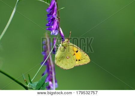Clouded Yellow, Colias crocea, Beautiful yellow butterfly on wildflower