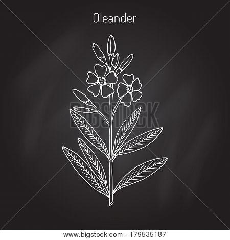 Oleander Nerium oleander , Rose bay, medicinal plant. Hand drawn botanical vector illustration