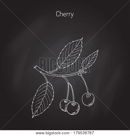 Sour cherry or tart cherry, or dwarf cherry branch with cherries and leaves. Hand drawn botanical vector illustration