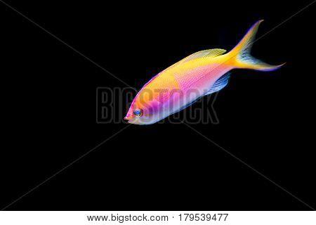 Pink Bartlett's Anthias swimming on black background