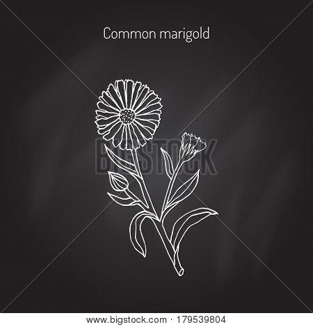 Medicinal plant Calendula officinalis common marigold . Hand drawn botanical vector illustration