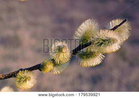 Willow flowers close-up. Flowering branch of pussy-willow. Spring weather. Palm Sunday.