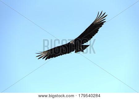 A raven vulture in flight, Drake Bay, Costa Rica