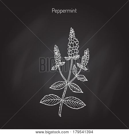 Peppermint with leaves and flowers, hand drawn botanical vector illustration