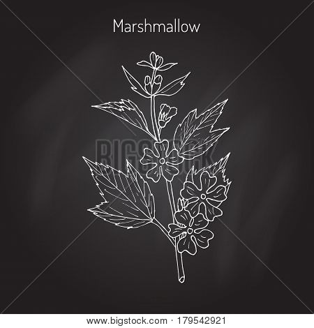 Althaea officinalis, or common marshmallow - medicinal herb. Hand drawn botanical vector illustration