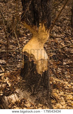 Beavers have gnawed a tree, the city of Irpen, the Kiev region
