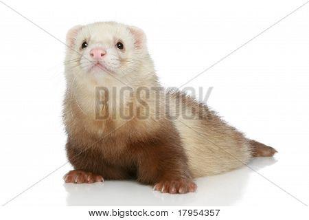 Ferret On A White Background