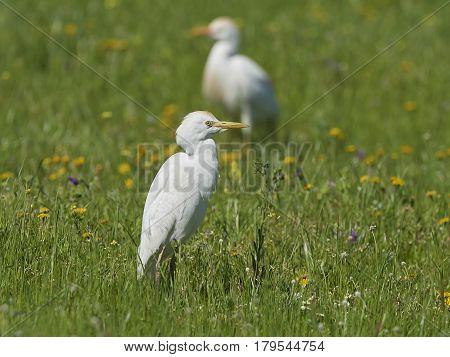 Cattle egret (Bubulcus ibis) standing in grass in its habitat